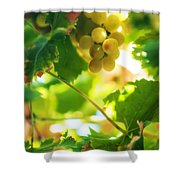 Harvest Time. Sunny Grapes Vii Shower Curtain