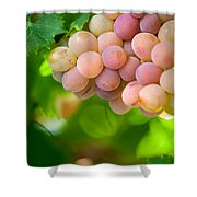 Harvest Time. Sunny Grapes Viii Shower Curtain
