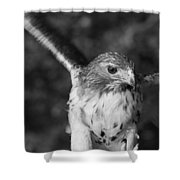 Hawk Attack Black And White Shower Curtain