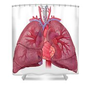 Heart Illustration, With Pulmonary Veins Shower Curtain