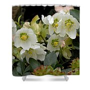 Hellebore And Friends Shower Curtain