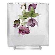 Helleborus Atrorubens Shower Curtain by Sarah Creswell