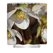Helleborus Niger - Christrose Shower Curtain