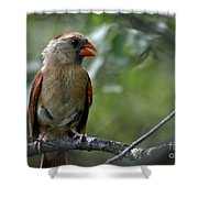 Hello Young Cardinal Shower Curtain