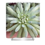 Hen And Chick Miniature Succulent Macro Shower Curtain