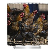 Hens Of Distinction Shower Curtain