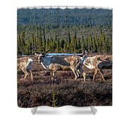 Herd Of Broad Pass Shower Curtain