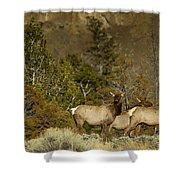 Herd Of Cow Elk   #7672 Shower Curtain