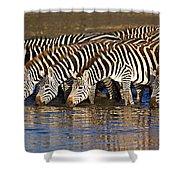 Herd Of Zebras Drinking Water Shower Curtain