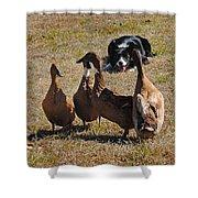 Herding Ducks Shower Curtain