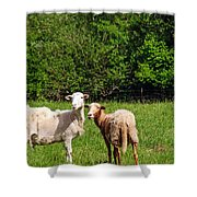 Here Is Looking At Ewe Shower Curtain