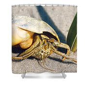 Hermit Crab Clibanarius Vittatus Shower Curtain