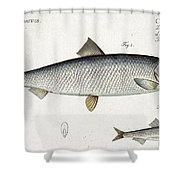 Herring Shower Curtain by Andreas Ludwig Kruger