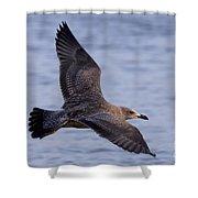 Herring Gull In Flight Photo Shower Curtain