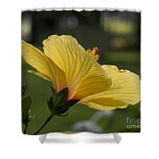 Hibiscus 'sunny Wind'  3407 Shower Curtain
