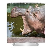 Hippopotamus With Open Mouth Shower Curtain