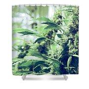 Home Grown Cannabis Plants. Shower Curtain