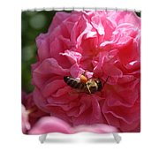 Honey Bee Collecting Pollen On A Pink Rose Shower Curtain
