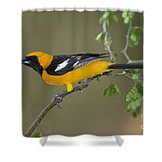 Hooded Oriole Shower Curtain
