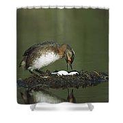 Horned Grebe Adult On Floating Nest Shower Curtain