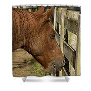 Horse 31 Shower Curtain