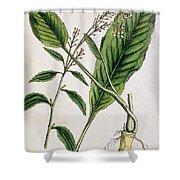 Horseradish Shower Curtain by Elizabeth Blackwell
