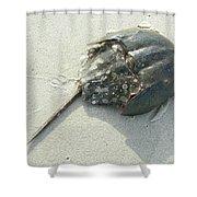 Horseshoe Crab - Limulus Polyphemus Shower Curtain