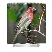 House Finch At Rest Shower Curtain