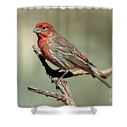 House Finch Carpodacus Mexicanus Shower Curtain