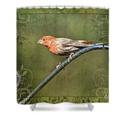 House Finch On Guard IIi Shower Curtain