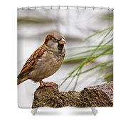 House Sparrow Passer Domesticus On The Perch Shower Curtain