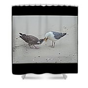 How To Eat A Blue Crab - Great Black Backed Gull In Training Shower Curtain