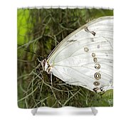 Huge White Morpho Butterfly Shower Curtain