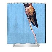 Hummingbird On Acacia Bush Twig Shower Curtain