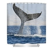 Humpback Whale Fluking Its Tail Shower Curtain