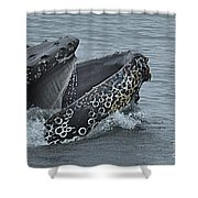 Humpback Whale  Lunge Feeding 2013 In Monterey Bay Shower Curtain