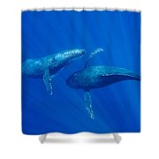 Humpback Whale Males Interacting Maui Shower Curtain