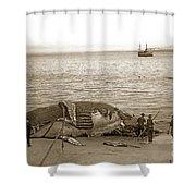 Humpback Whale On A Monterey Beach California  Circa 1896. Shower Curtain