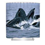 Humpback Whales Gulp Feeding On Herring Shower Curtain