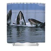 Humpback Whales Gulp Feeding Southeast Shower Curtain