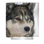 Husky Dog Breading Centre Shower Curtain by Lilach Weiss