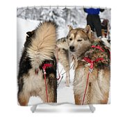 Husky Dogs Pull A Sledge  Shower Curtain