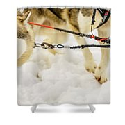 Husky Sled Dogs, Lapland, Finland Shower Curtain