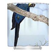 Hyacinth Macaw Anodorhynchus Shower Curtain