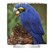 Hyacinth Macaw Eating Piassava Palm Nuts Shower Curtain