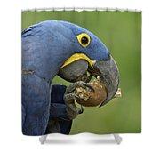 Hyacinth Macaw Habitat Eating Piassava Shower Curtain