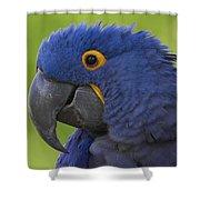 Hyacinth Macaw Portrait Shower Curtain