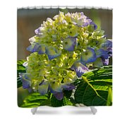 Hydrangeas First Blush Shower Curtain