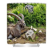 Ibex Pictures 64 Shower Curtain