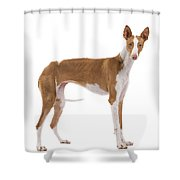 Ibizan Hound Shower Curtain